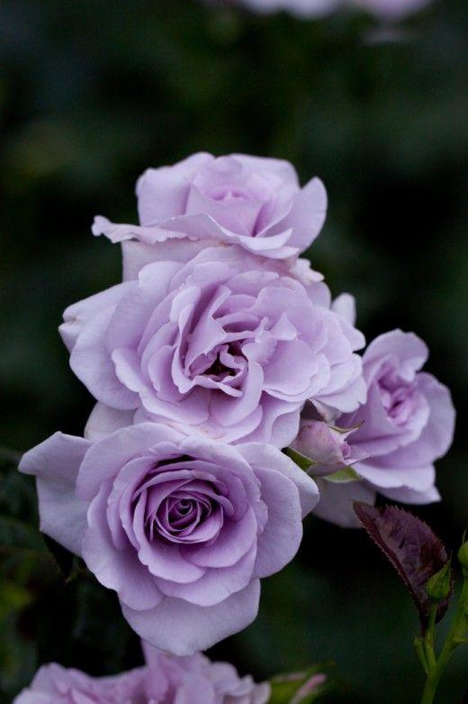 'Blue Bajou Rose' | Floribunda Rose. W. Kordes & Sons (Germany, 1993) | © Yoko Nekonomania
