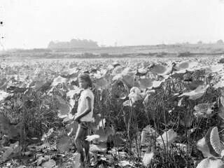 Teratai di Setu Citayam 1930