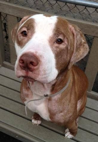 TO BE DESTROYED - 09/06/14 Manhattan Center -P  My name is SHIBA. My Animal ID # is A1011769. I am a spayed female brown and white pit bull mix. The shelter thinks I am about 2 YEARS old.  I came in the shelter as a OWNER SUR on 08/24/2014 from NY 10452, owner surrender reason stated was PETINJURED. I came in with Group/Litter #K14-191556.