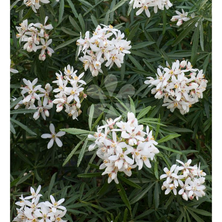 Choisya x dewitteana 'White Dazzler'  - An excellent aromatic evergreen shrub, which is covered in scented white flowers in spring and again in late summer.