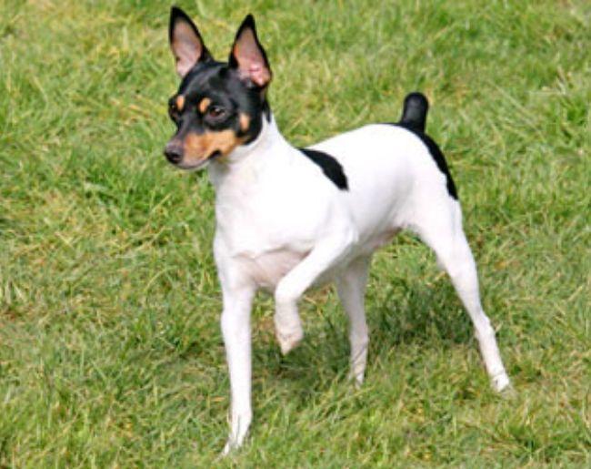 Той-фокстерьер – описание маленькой породы собак, происхождение и их темперамент. Фото собак породы Той-фокстерьер.