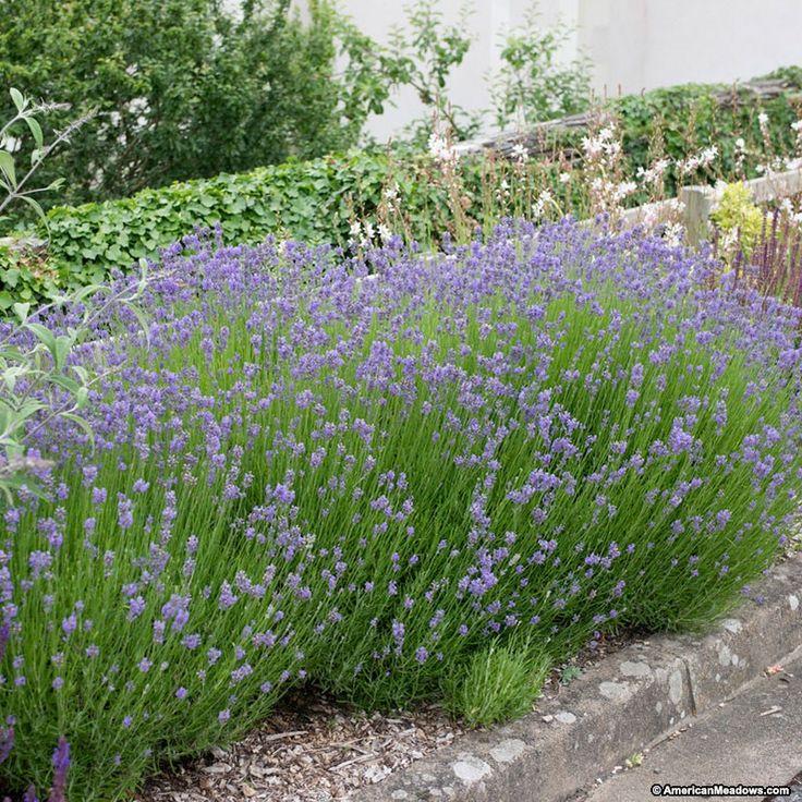 Purple Lavender Hidcote in a garden. Lavandula angustifolia, Lavender