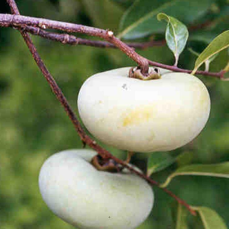 Diaspyros decandra Gold apple a tropical fruit of the Ebony family