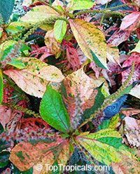 Acalypha Wilkesiana Chicago Brick Copper Leaf Click To See Full
