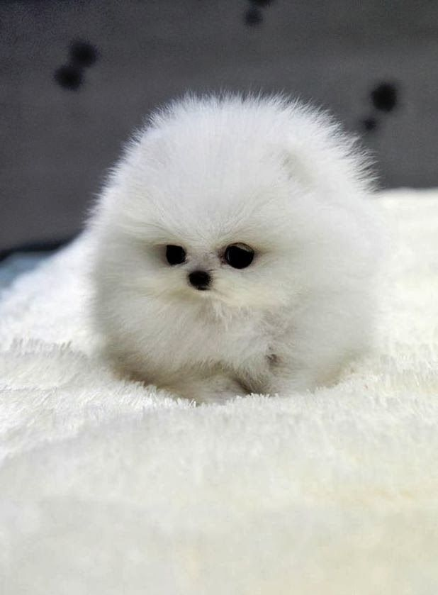 Top 10 smallest Dog Breeds ~ The Pet's Planet