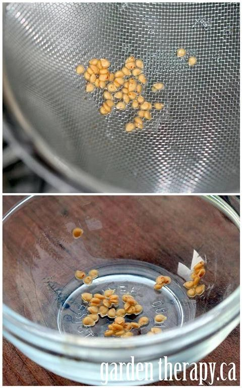 How to Save Heirloom Tomato Seeds via www.gardentherapy.ca