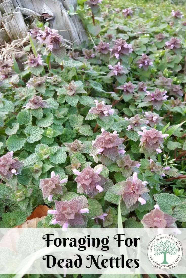Learn more about dead nettles and how useful they are in culinary and medicinal applications! The Homesteading Hippy