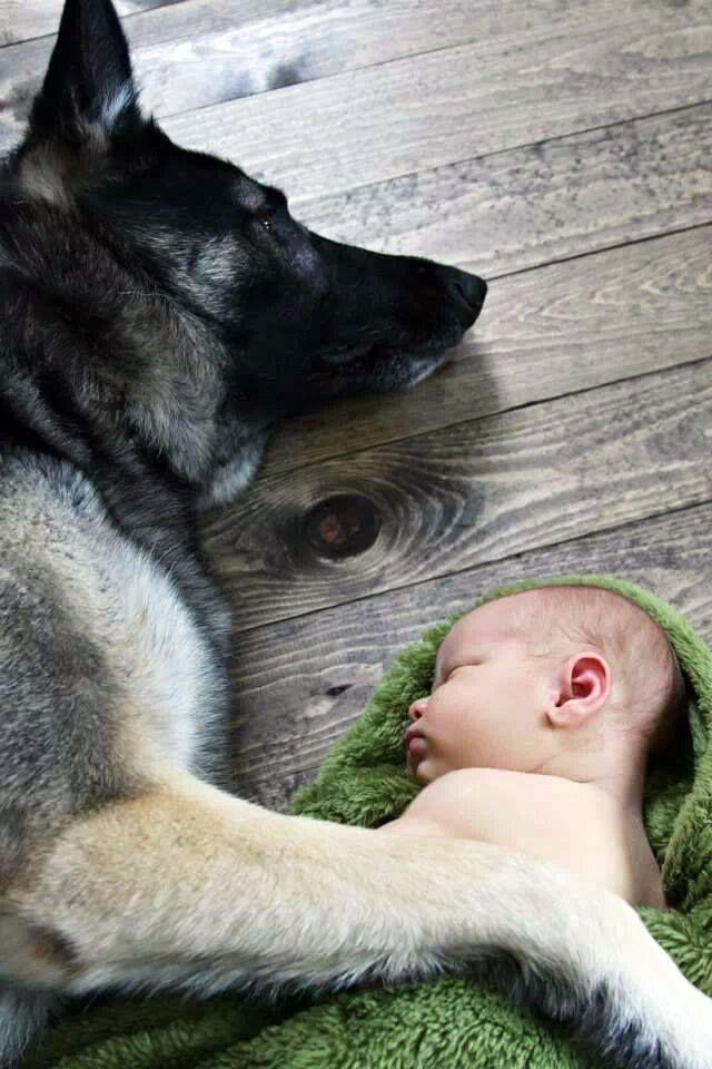 18 best ddr german shepherds images on pinterest ddr german shepherd pets and police dogs. Black Bedroom Furniture Sets. Home Design Ideas