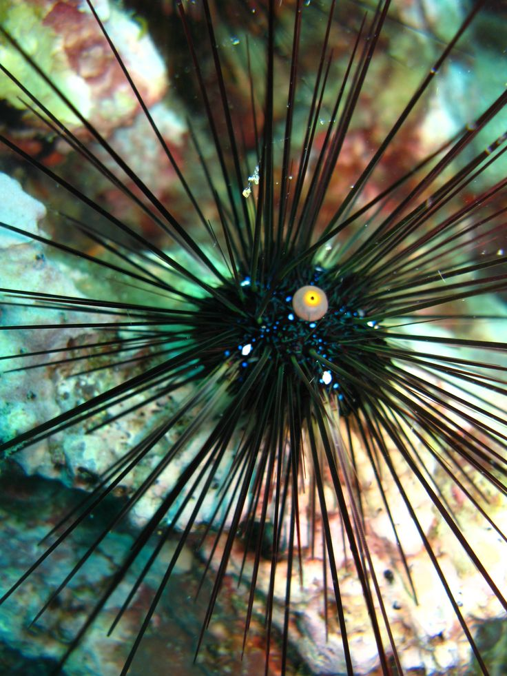 Sea Urchin, The Great Barrier Reef
