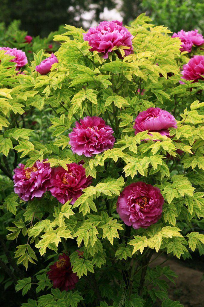 Pivoine : planter et tailler – Ooreka