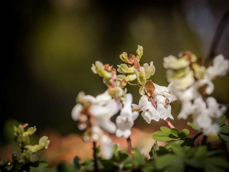 Derzeit können sehr gut Frühblüher im Wald fotografiert werden. Tipps und Bilder zum Fotografieren von Leberblümchen und Co. gebe und zeige ich hier.