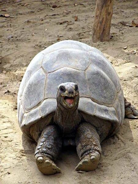 Happy Turtle. Actually, it's a tortoise. Turtles swim in the water; tortoises are land lubbers.
