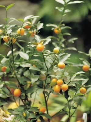 Grow a citrus tree indoors. -- I love indoor plants and always wanted to give it a try from just a seed. Plan on trying out this tutorial.