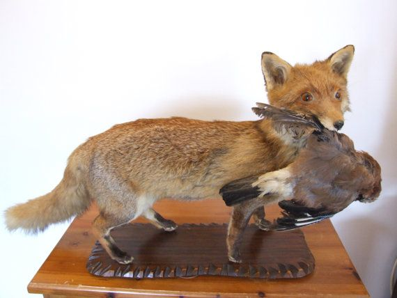 Lovely example of a large fox with a jay in its mouth, the bird is detachable. there is very slight damage to the belly of this item, that has been restitched. The rest of this is in fantastic condition.  Very rare to see a fox carrying its prey like this. a real taking piece.  Dimensions: The wooden plaque is 55cm x 20cm. The fox is about 50cm tall including the plaque and 75-80cm long including the tail.   Please feel free to contact me for more photographs or if you have more questions. I…