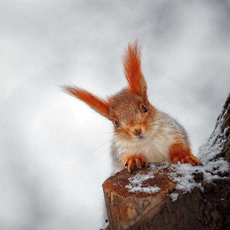 Siberian Red Squirrel, Sciurus vulgaris exalbidus