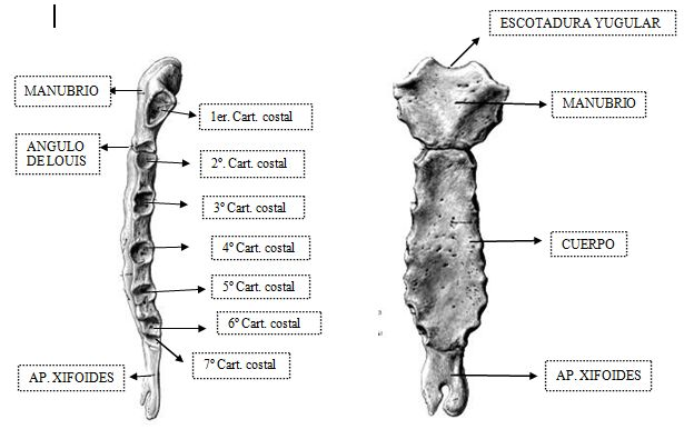 Resultado De Imagen Para Esternon Vista Posterior Arte De Anatomia Anatomia El Esternon