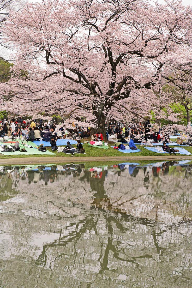 People picnicing beneath cherry blossom tree in Yoyogi Park, Harajuku.