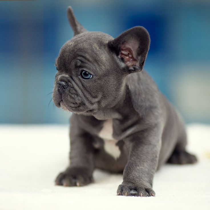 french bulldog for sale cheap 1000 ideas about french bulldog for sale on pinterest 5037