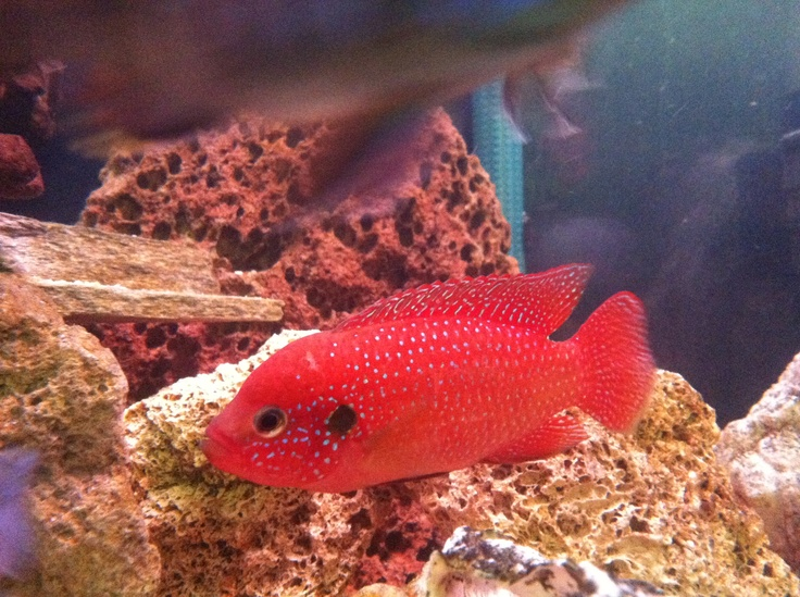 ... jewel cichlid tropicals jewels aquariums fish cichlids forward cichlid