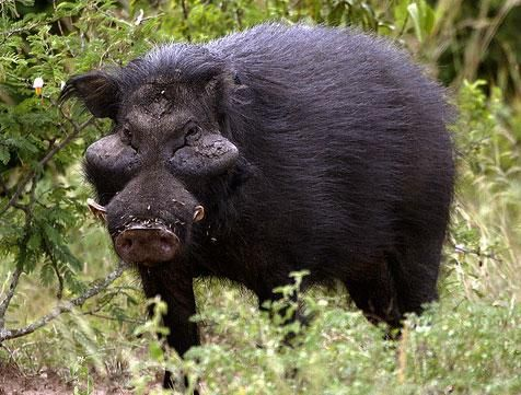 Cute Piglets Wallpaper Giant Forest Hog Yes Liberia Com God S Creatures