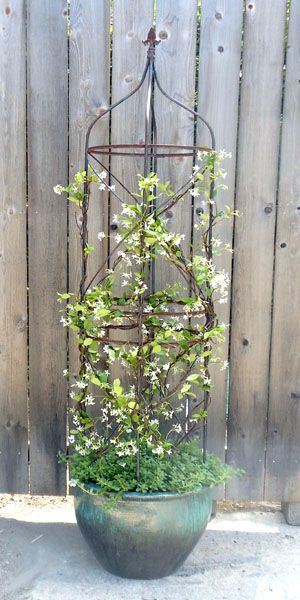 star jasmine in a pot #containers #pottery #planters #pots