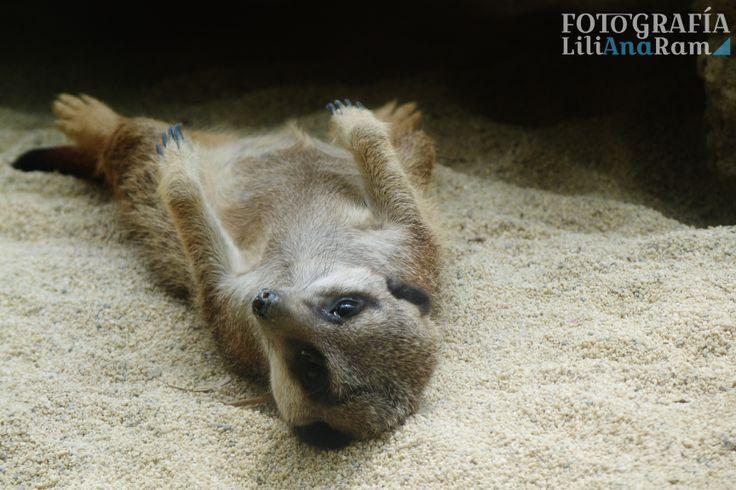Suricato meerkat