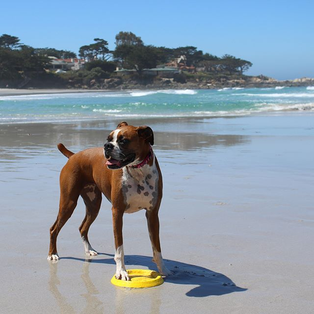 I heard they're doing a casting call for the new Baywatch ☀️🐕 #beachbum #carmelbythesea #baywatch #boxeronpatrol #boxer #boxerdog #instantboxer #boxergram #boxerlife #lifewithaboxer #boxeraddict #flashyfawn #boxersofig #dog #boxersofinstagram #instadog #carmellocals #montereybaylocals - posted by LAYLA_THE_BOXER https://www.instagram.com/layla_theboxer - See more of Carmel By The Sea, CA at http://carmellocals.com