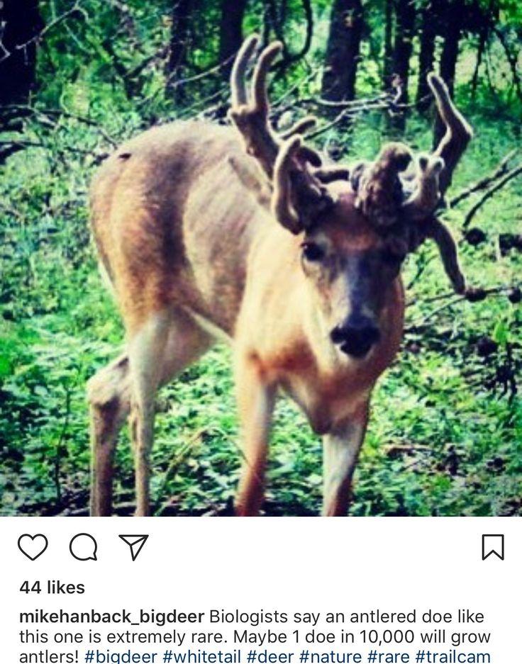 Louisiana Deer Map%0A Deer  Wildlife  Red Deer  Reindeer  Sambar Deer