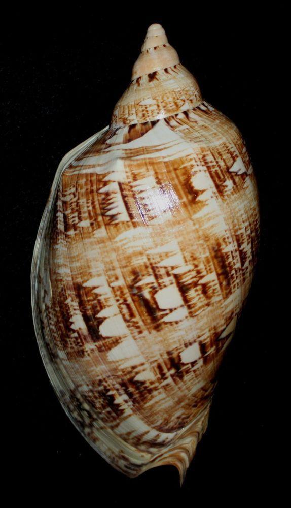 "Seashell Sea Shell Australia MONSTER voluta cymbiola magnifica 11""+ F+ #339"