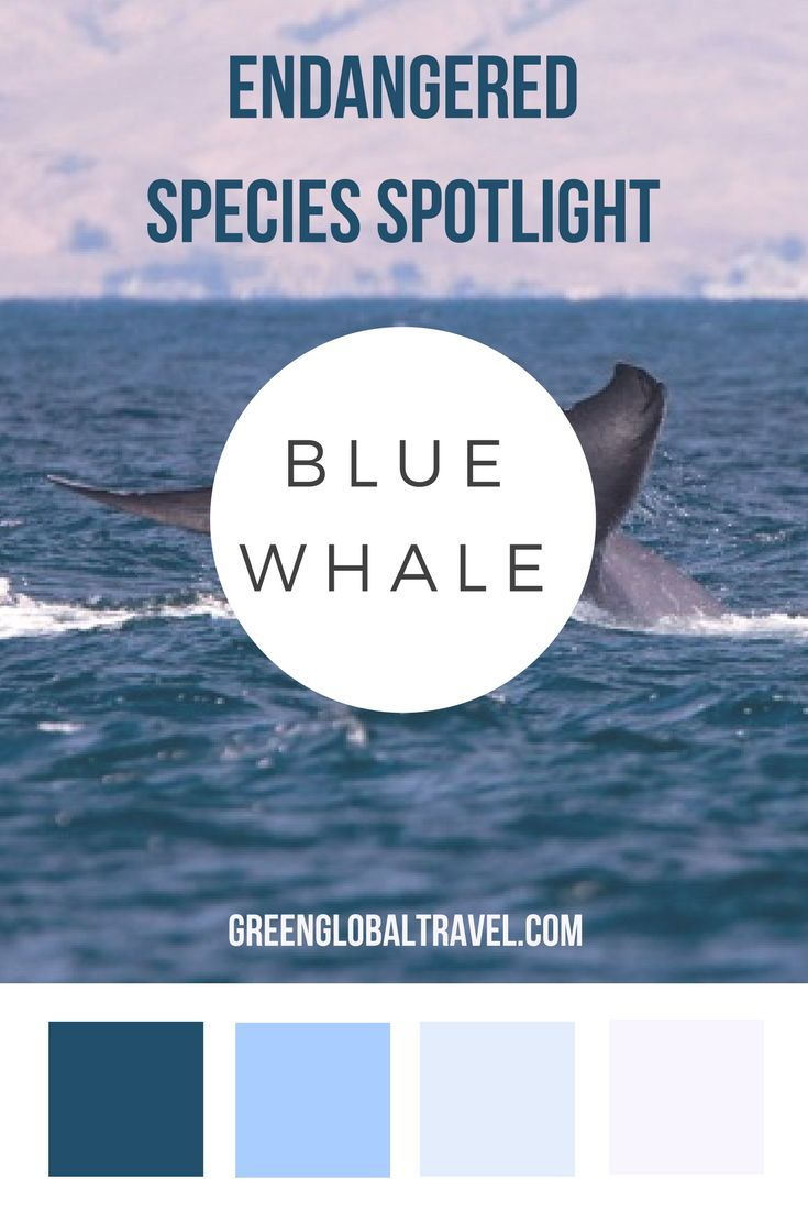 17 best ideas about information about global warming endangered species spotlight blue whale