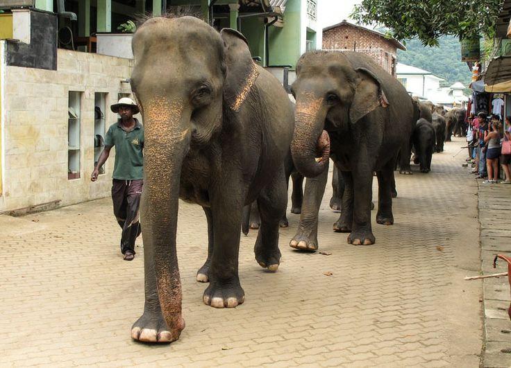 Bei den Elefanten von Pinnawela auf Sri Lanka