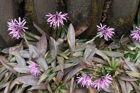 Oriental Swamp Pink for sale buy Heloniopsis orientalis