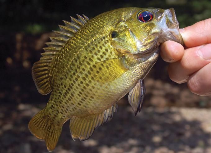 17 best images about fish found in ohio on pinterest for Rock bass fish