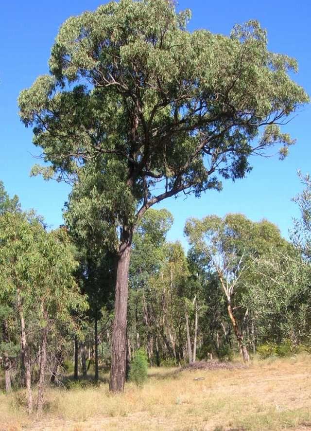 Ironbark Eucalyptus tetrapleura