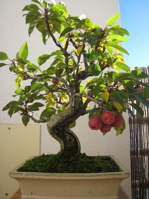 Malus_Macieira bonsai tree