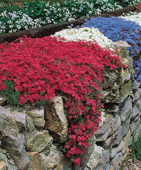 Fragrant Carpet Phlox Garden These brightly hued plants spread rapidly and thoroughly across your garden space, providing colorful flower coverage with plenty of ease and little attention necessary - Grows to approx. 2'' to 6'' H -  Perennial -  Bloom time: mid- to late spring -  Full sun to partial shade -  Hardy in zones 3 to 9