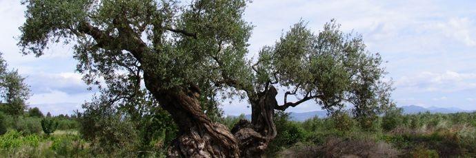 Olio extravergine di olivi millenari del Maestrat - Gli #olivi della provincia di Castellón, nella #Spagna orientale, sono stati protagonisti indiscutibili dell'agricoltura mediterranea e, ancora oggi, sono centrali per la vita di questa regione dedita all'oleicoltura. Dalle loro olive viene estratto un olio dal profumo pieno e complesso, in cui prevale un aroma di #frutti rossi con sentori floreali ed erbacei.  #SlowFood #food #cibo #cucina