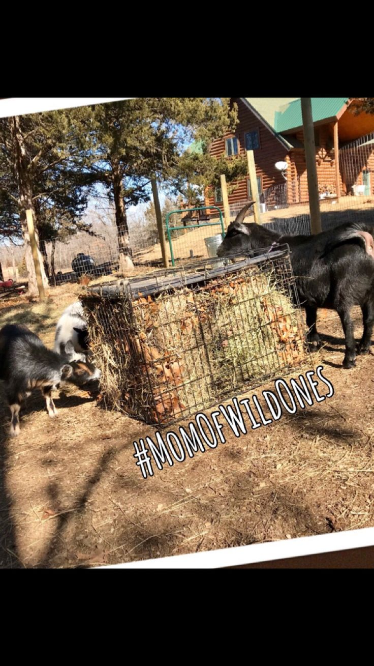 Goat slow feeder for hay made from a wire dog kennel.