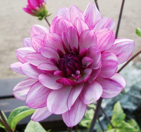 Dahlia flower learn 2 grow dahlia http www for Flowers that look like dahlias