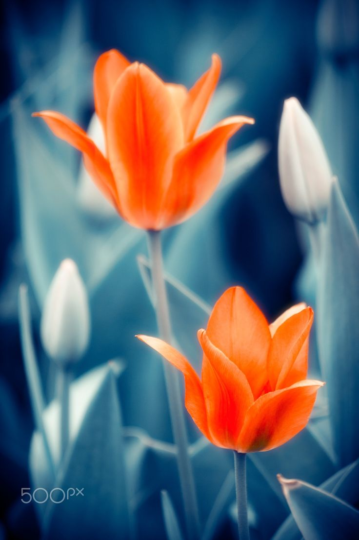"""Tulips Fiery Flowers - Tulips Fiery Flowers Photo Art Nature Background. From """"Flowers with Indigo"""" photo art series."""