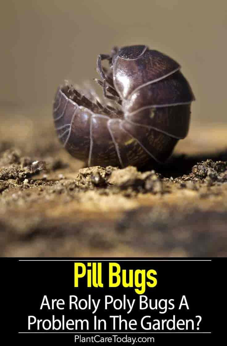 Pill Bugs Are Roly Poly Bugs A Problem In The Garden Pill Bug