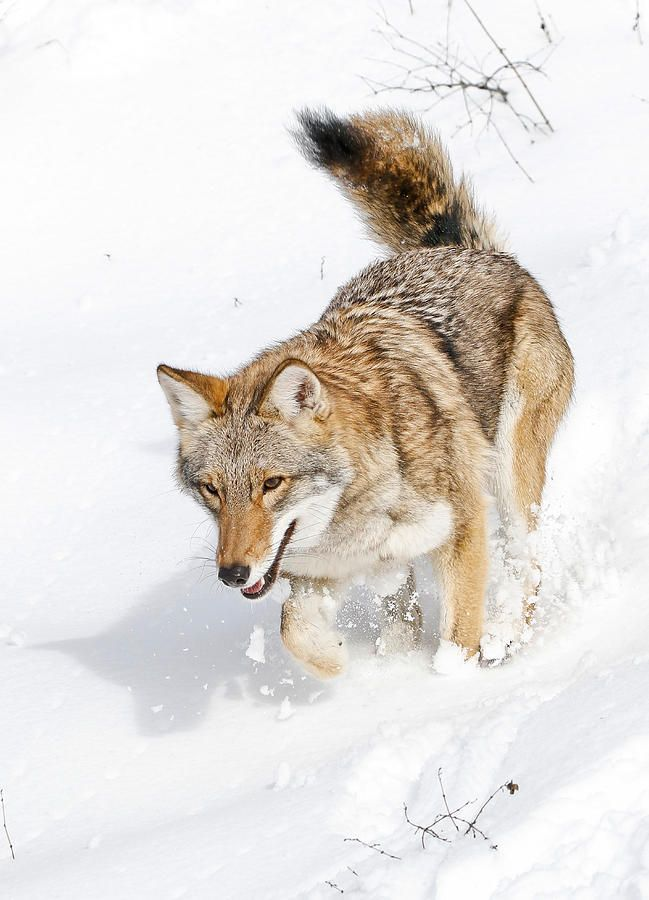 1000+ images about Old Man Coyote on Pinterest | Burning ...  1000+ images ab...