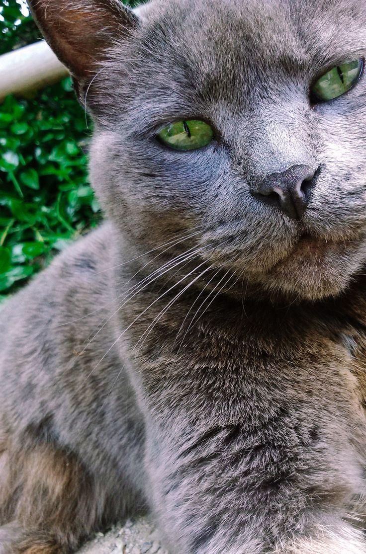 155 best Russian Blue images on Pinterest
