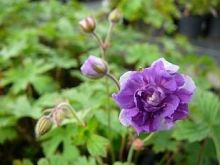 "Geranium himalayense""Plenum"""
