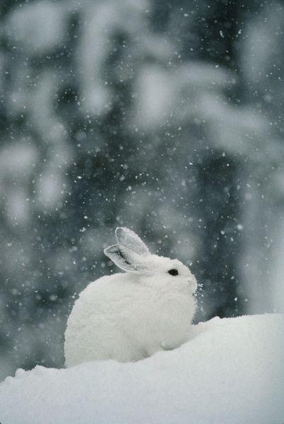 Sneeuw konijn
