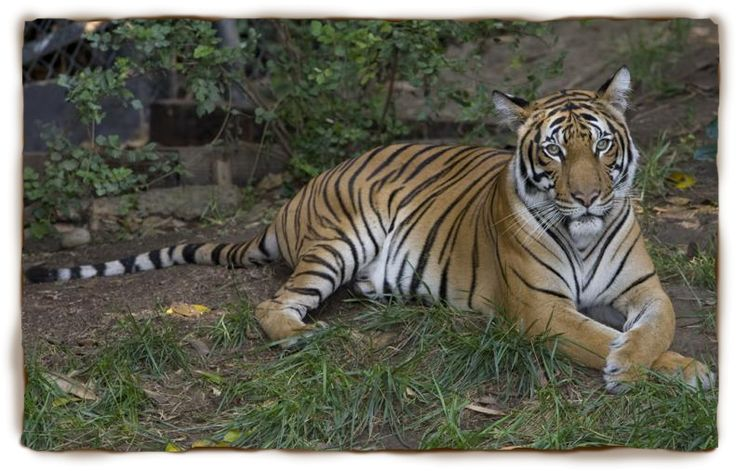 Tiger-facts-for-kids-9.jpg