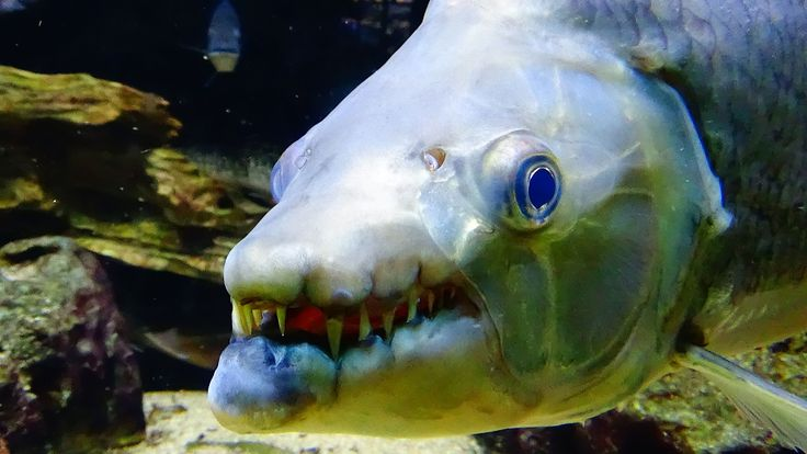 Best 25 dangerous fish ideas on pinterest marine fish for Most aggressive freshwater fish