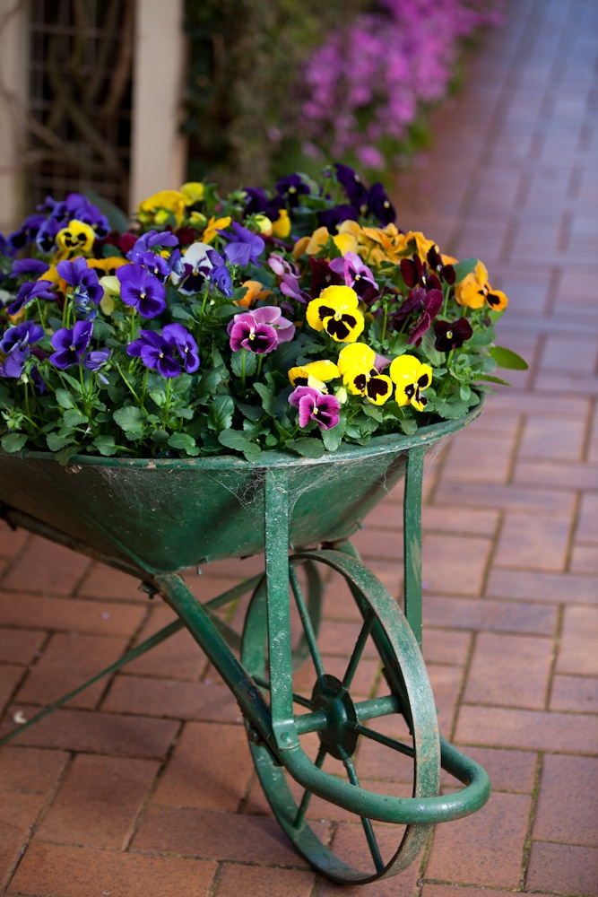 Love this wheelbarrow filled with flowers.  Taken at Toowoomba's Carnival of Flowers.