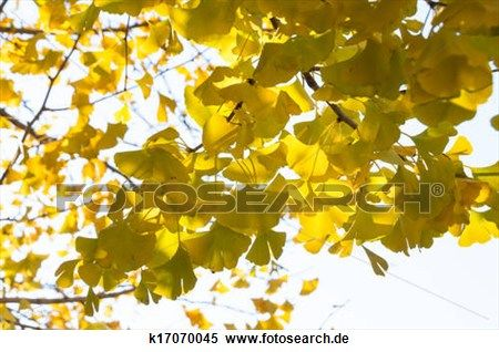 lebhaft, gelb, ginkgo baum Großes Bild anschauen