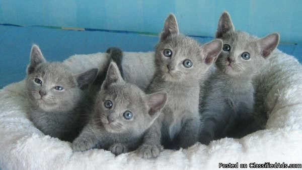 Hypoallergenic Russian Blue Kittens 11 Weeks Price